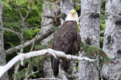Alaska_- Bald Eagle