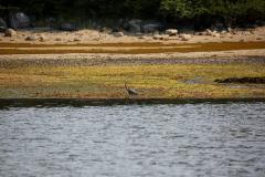 Alaska_- Grey heron